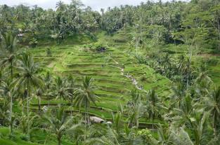 Bali rizières 96
