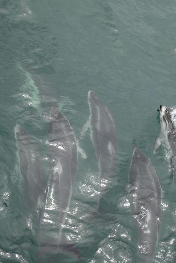 Dauphins dans le golfe de Califonie au large de Monterey